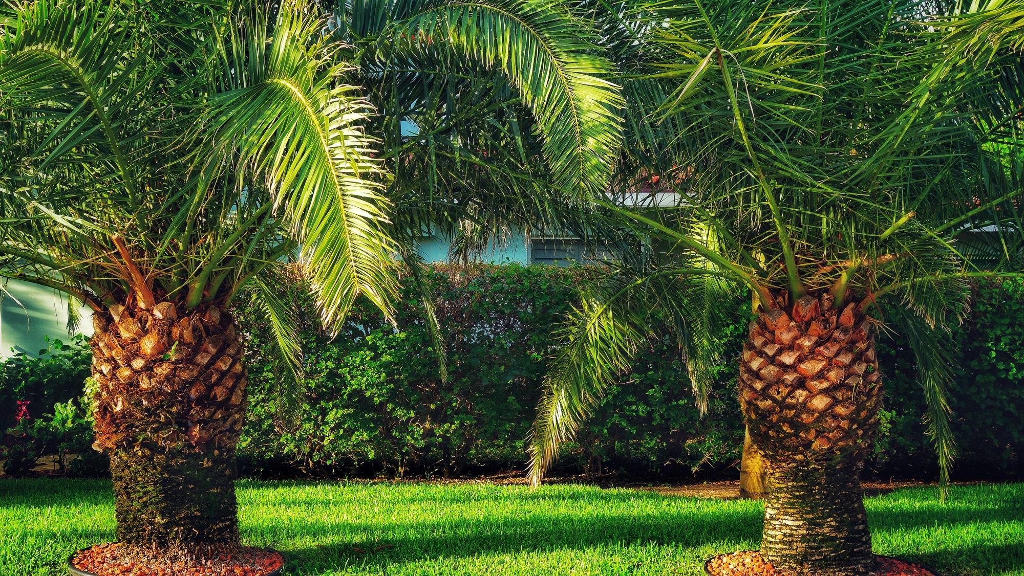 Miniature Date Palms Decorating A Florida Lawn