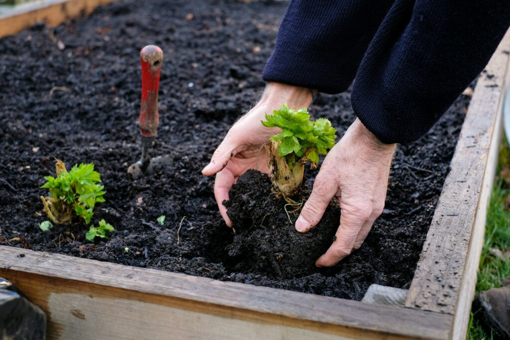 Man planting a vegetable plant in his garden bed